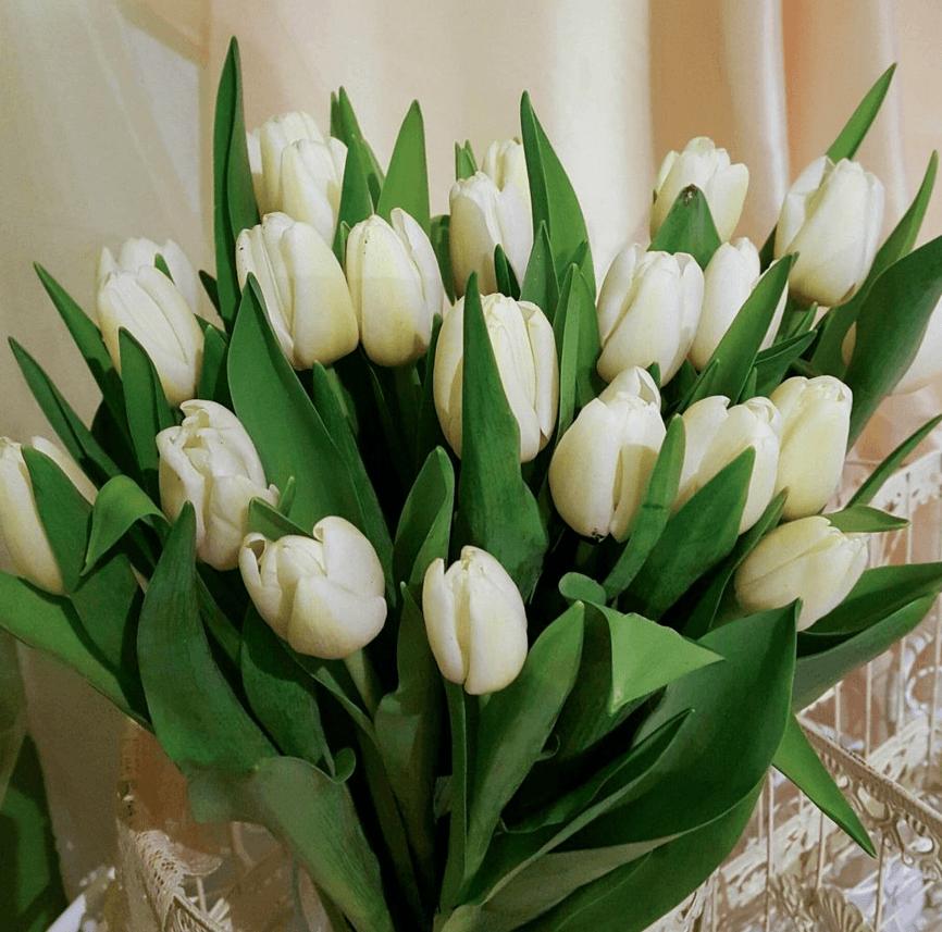 Baltas tulpes (25 gab.)